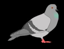 Pigeon Vector.