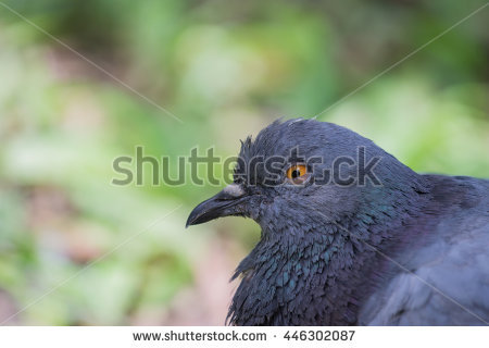 Feral Pigeon Stock Photos, Royalty.