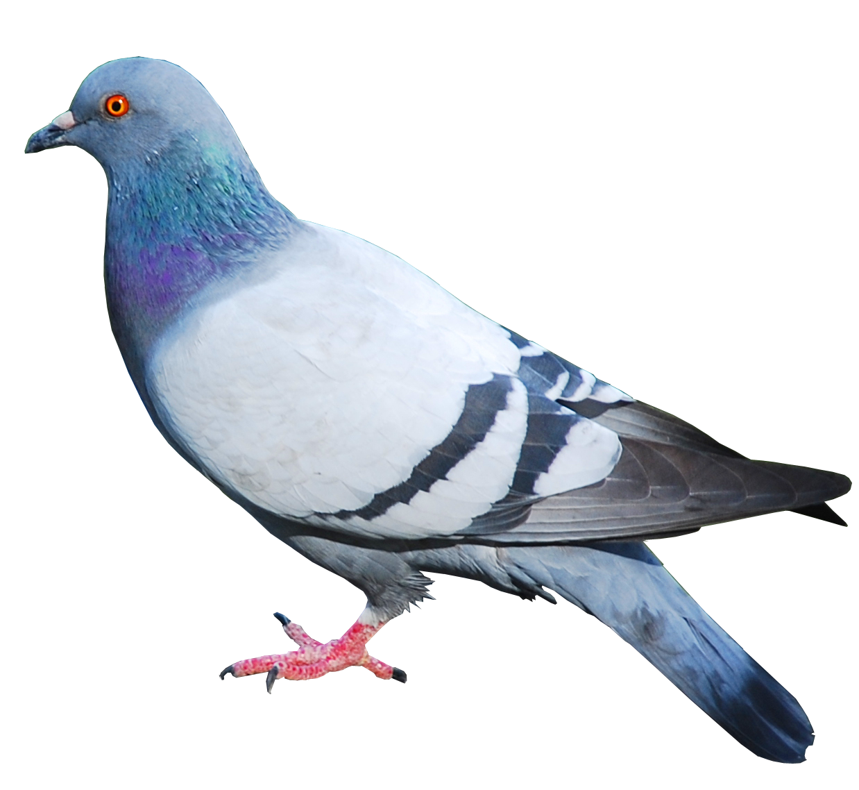 Collection of Pigeon Images on HDWallpapers.