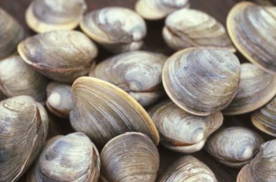 clams.