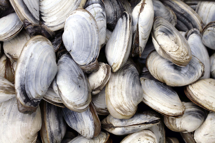 Clam Cancer Spreads Along Eastern Seaboard : Shots.
