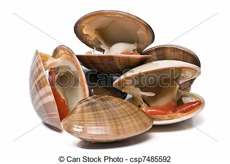 Stock Photo of Fresh smooth clams..