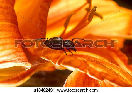 Stock Photography of (Camponotus pennsylvanicus), Black Carpenter.