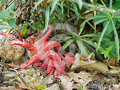 Clathrus Archeri, Octopus Stinkhorn, Red Wild Mushroom,fungus.