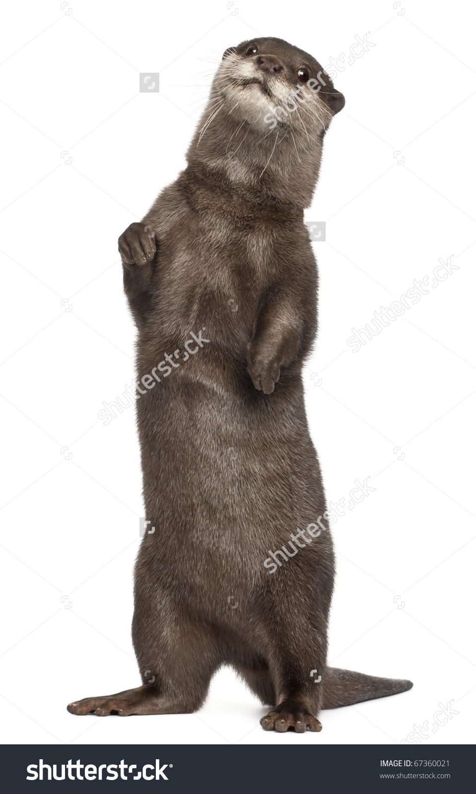 Oriental Smallclawed Otter Amblonyx Cinereus 5 Stock Photo.