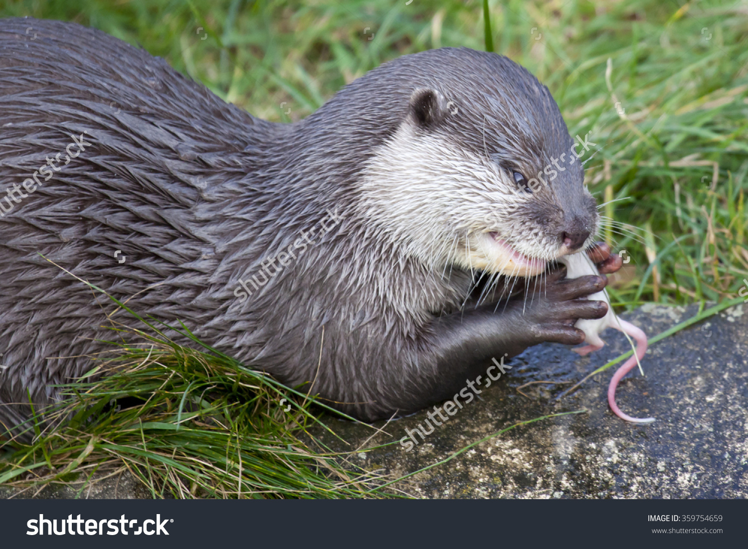 Oriental Small Clawed Otter Eating Mouse Stock Photo 359754659.