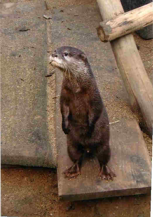 Asian Clawed Otters for Sale.