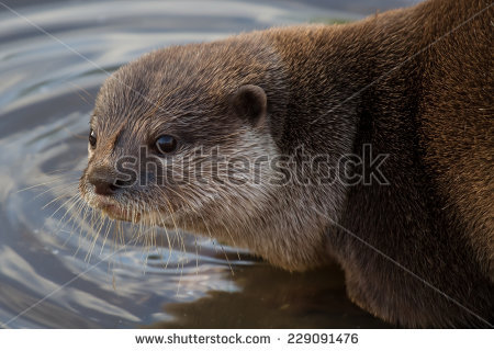 Clawed Otter Stock Photos, Royalty.