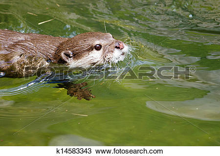 Stock Photo of Asian small clawed otter k14583343.