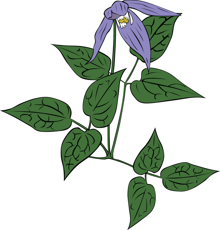 Free Clipart: Clematis occidentalis.