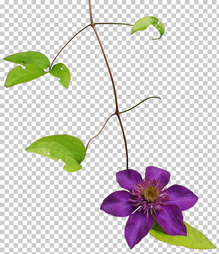 Clematis armandii, Fromat PNG clipart.