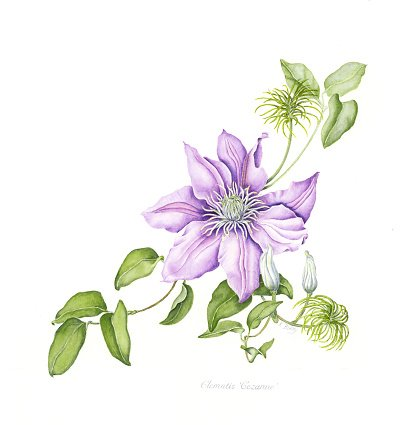 Clematis Flower Watercolor Painting Clipart Image.