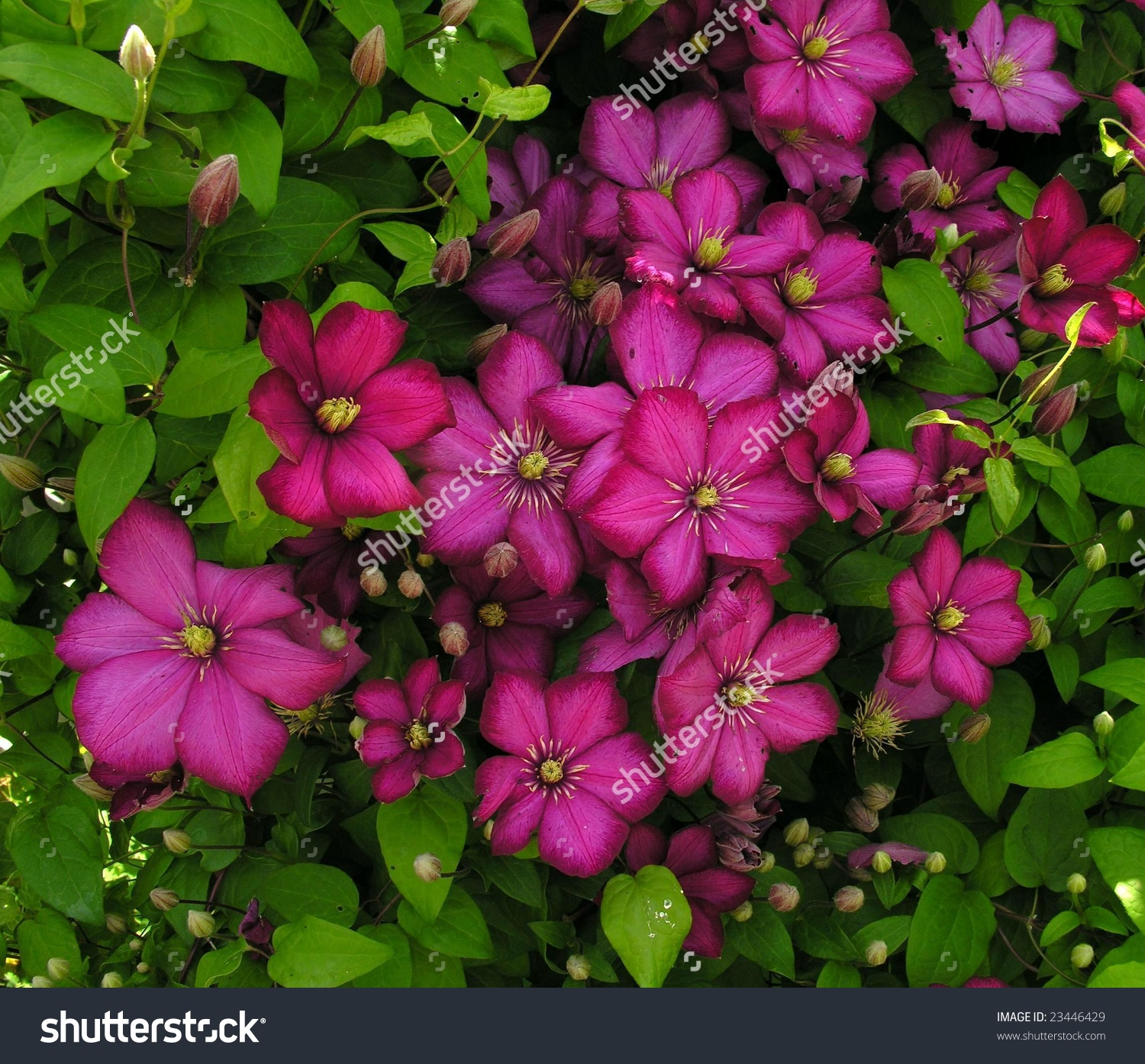 Clematis 'Ville De Lyon' Stock Photo 23446429 : Shutterstock.