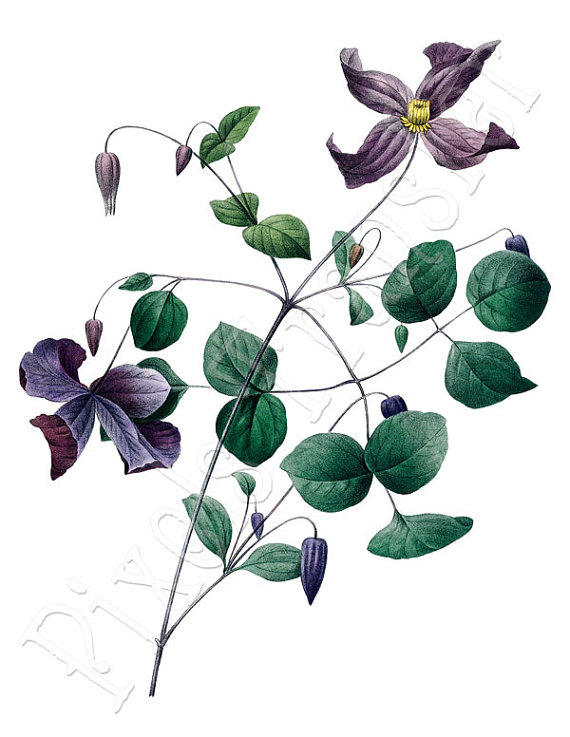 CLEMATIS Instant Download wedding clipart purple flowers botanical.
