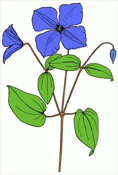 Free clematis Clipart.