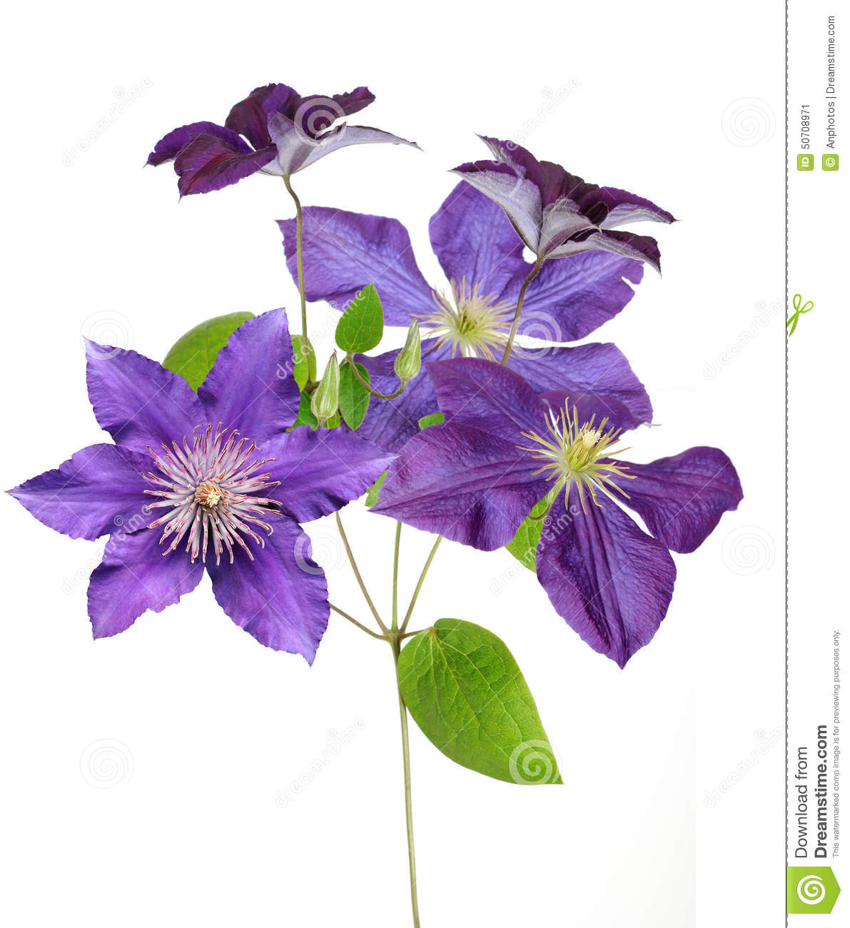 Clematis Branch Stock Photo.