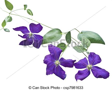Stock Photos of clematis vines on white background.