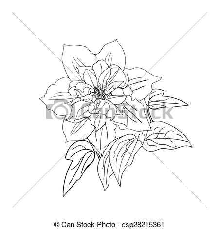 Clip Art Vector of Terry flower clematis sketch. Black outline on.