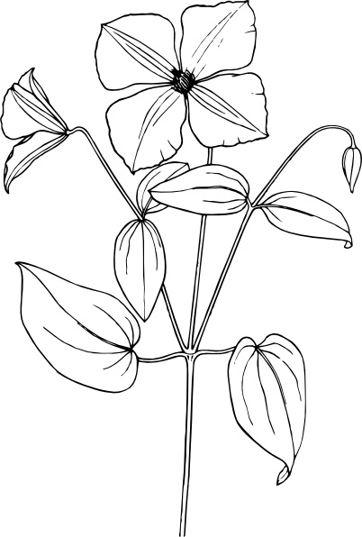 Clematis clip art Free vector in Open office drawing svg ( .svg.