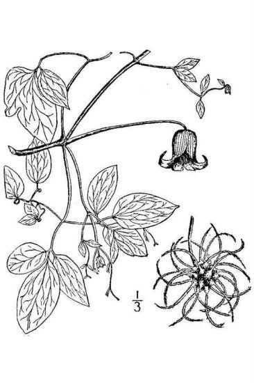 Clematis crispa L..