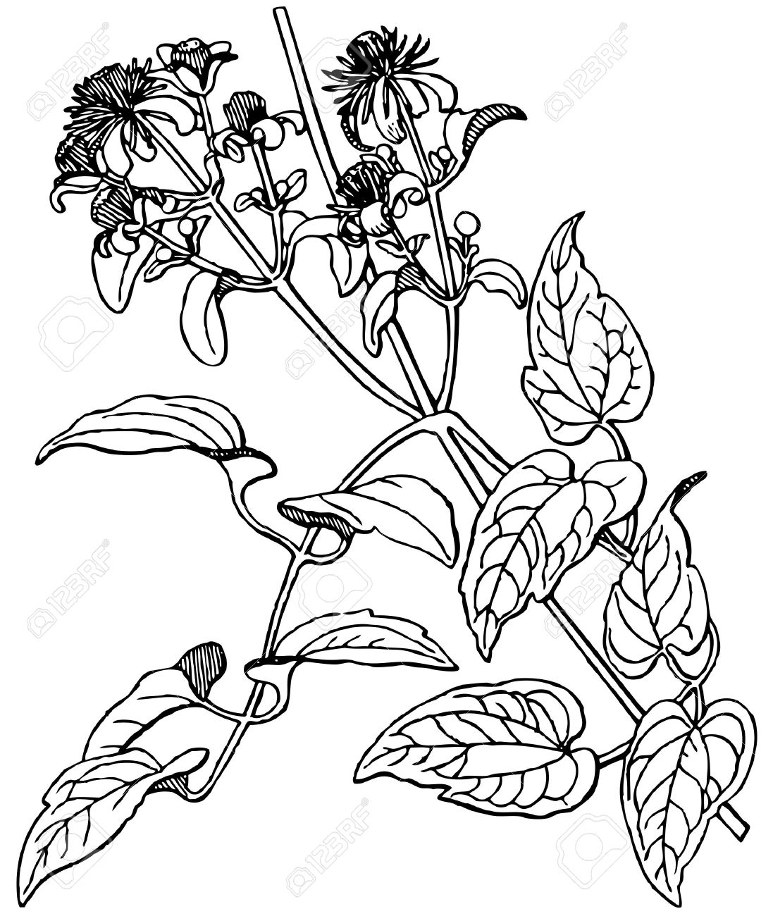 Plant Clematis Vitalba Royalty Free Cliparts, Vectors, And Stock.