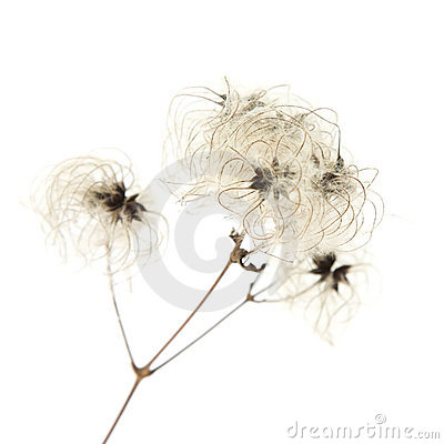 Dry Seedhead Of Clematis Vitalba Royalty Free Stock Photos.