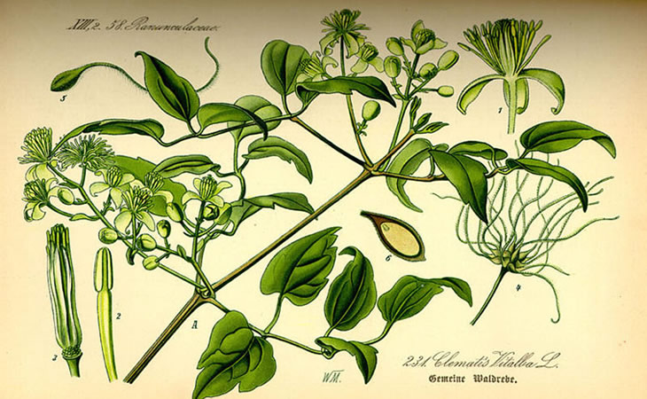 Clematis Vitalba: A Tasty Edible Weed, Only Slightly Poisonous.