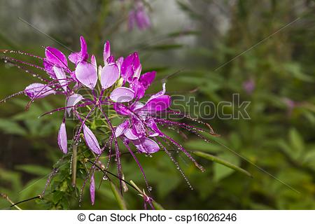 Drawing of Cleome hassleriana, commonly known as spider flower or.