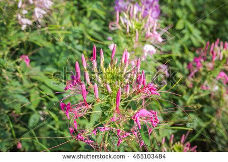 Cleomaceae Stock Photos, Royalty.