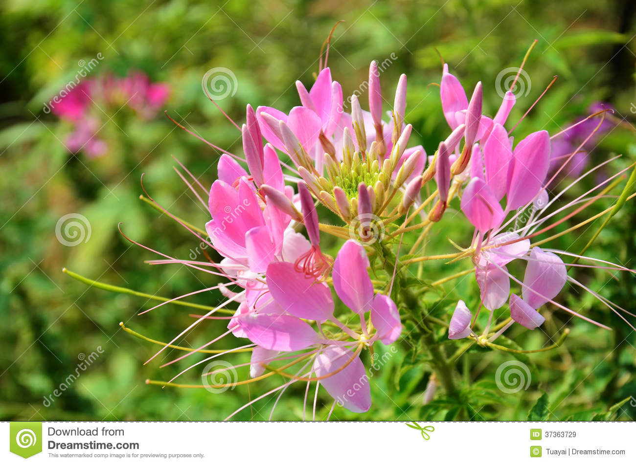 Cleome Spinosa Jacq , Spider Flower, Prickly Spider.