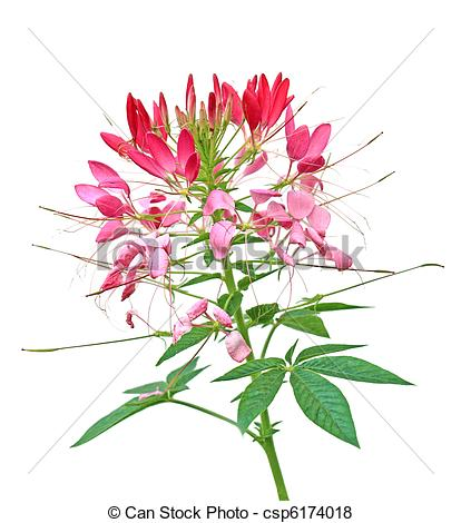 Pictures of Cleome Flower.