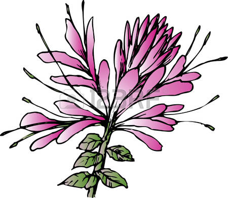 Cleome Images, Stock Pictures, Royalty Free Cleome Photos And.