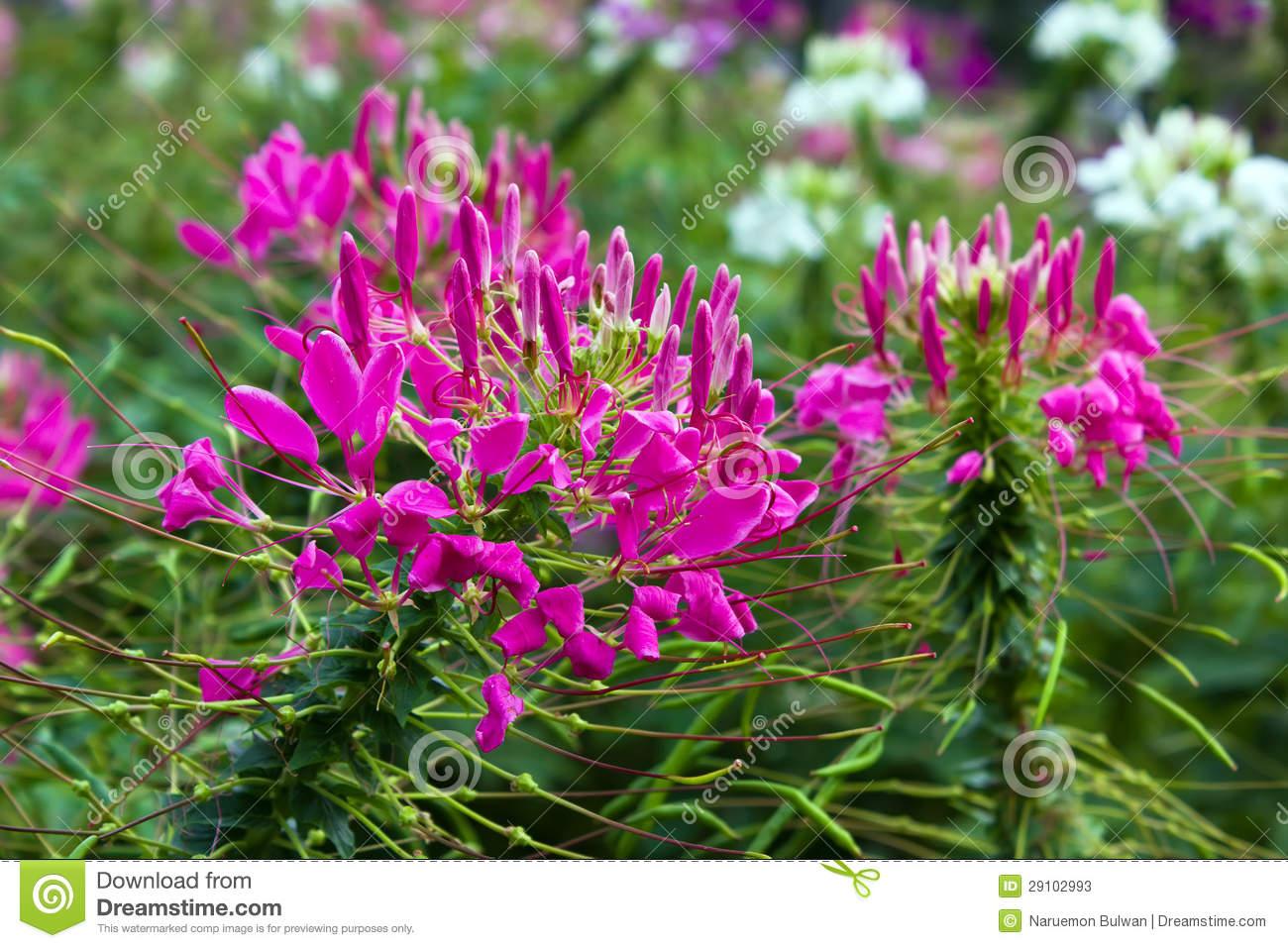 Pink Cleome Flower In Garden Stock Photos.