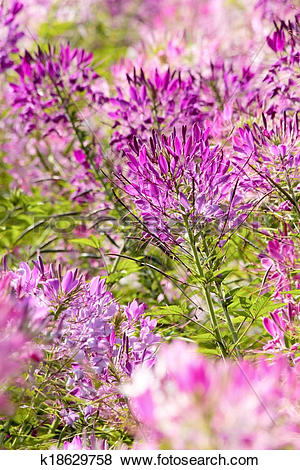 Pictures of Cleome or Spider Flower k18629758.