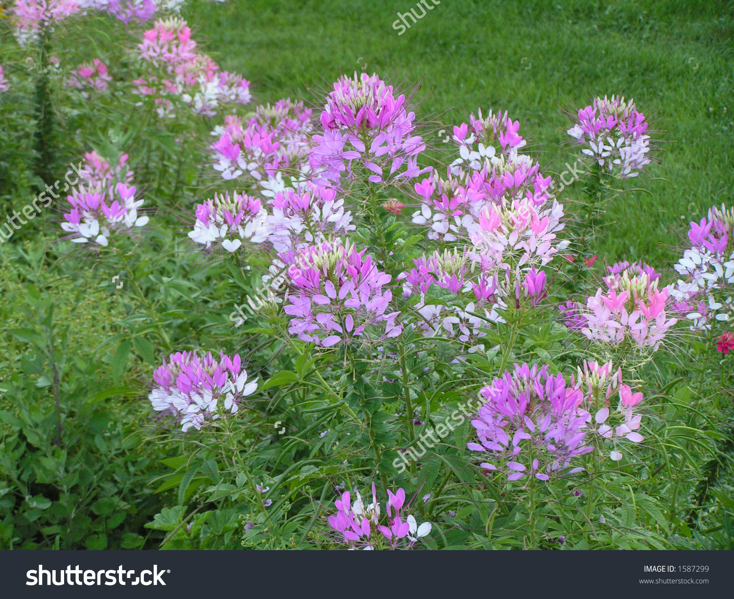 Cleome Spider Flower Tall Blooming Annual Stock Photo 1587299.