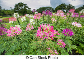 Stock Photographs of Cleome commonly known as Spider Flower, is a.