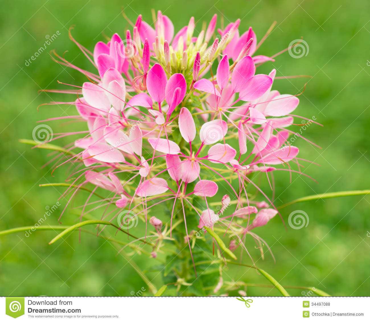 Cleome Flower In Nature Royalty Free Stock Photos.