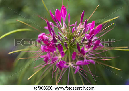 Stock Images of Spider flower (Cleome spinosa) tcf003686.