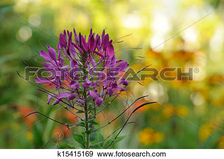 Stock Photograph of Cleome Flower (Spider Plant) k15415169.
