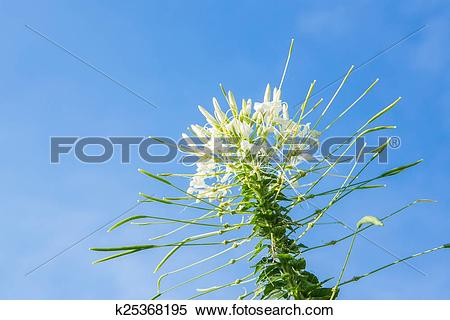Stock Image of Flowers, Cleome flower (Cleome hassleriana) ,spider.