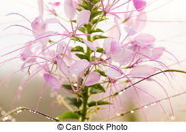 Stock Photo of Cleome Hassleriana.