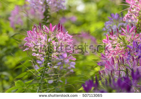 Cleome Stock Photos, Royalty.