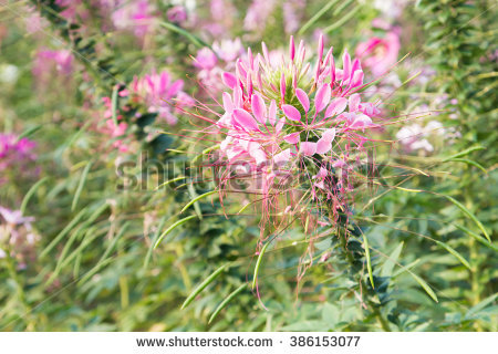 Cleome Flower Cleome Hassleriana Stock Photo 386153077.