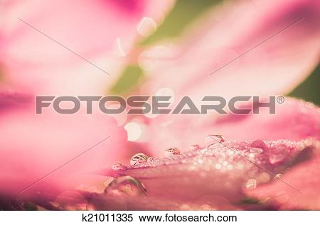 Stock Image of Cleome hassleriana or spider flower or spider plant.