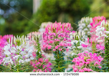 Spider Flower Spinosa Stock Photos, Royalty.
