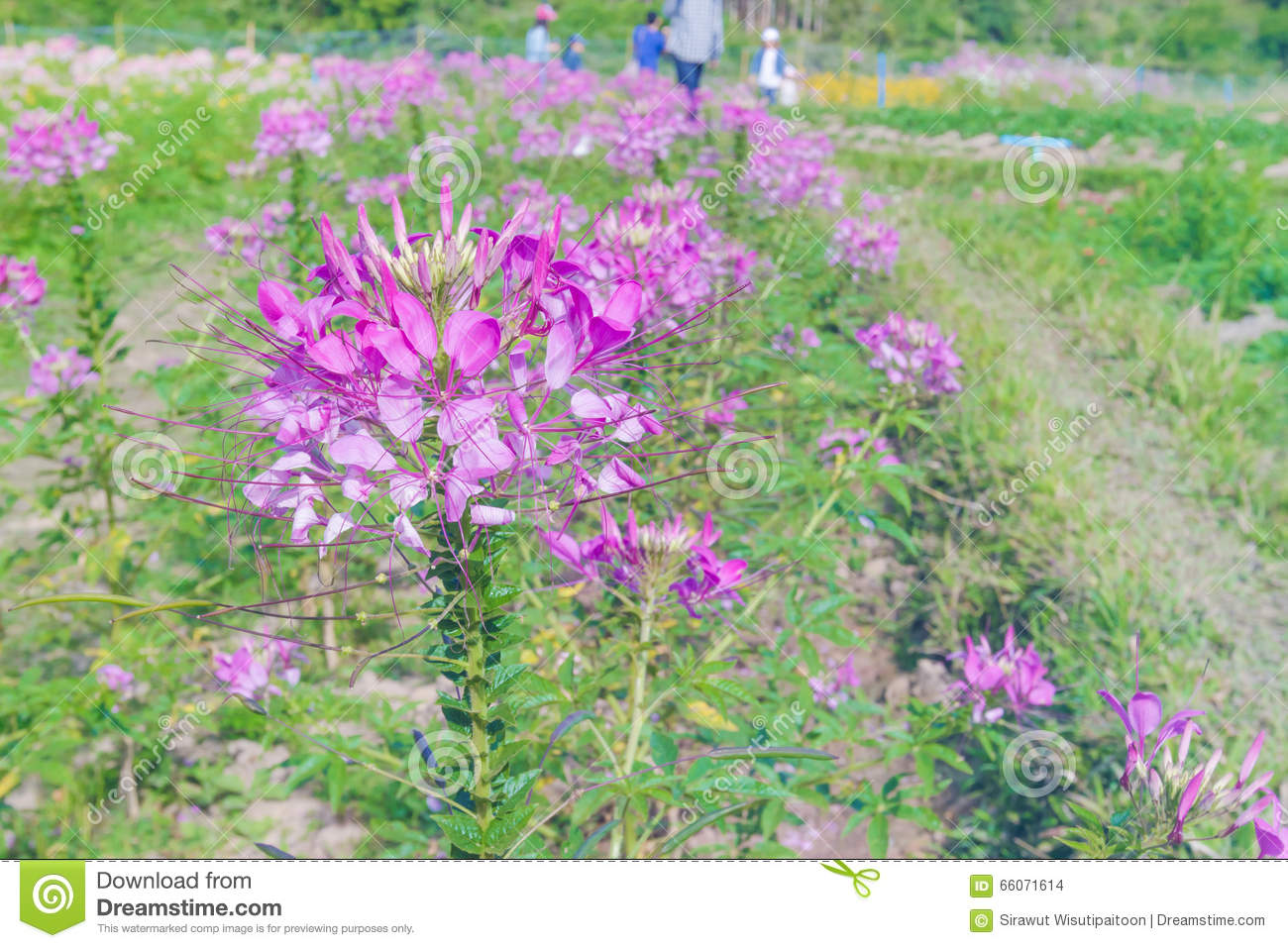 Spider Flower Or Cleome Hassleriana In Garden,soft Focus Stock.
