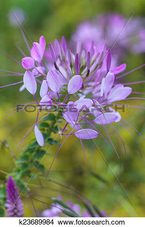 Stock Photo of Cleome hassleriana, Spider flower k23689984.