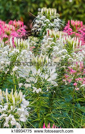 Stock Image of Pink And White Spider flower(Cleome hassleriana.
