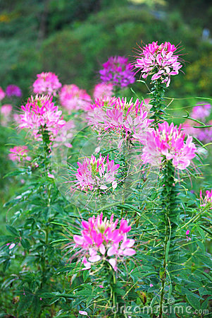 Cleome Hassleriana Stock Photos.