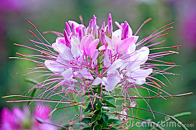 Cleome Spinosa Royalty Free Stock Image.